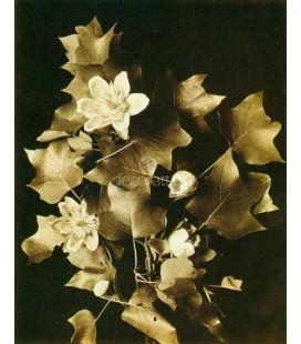 Alamo de tulipán, Henry Troth, 1900